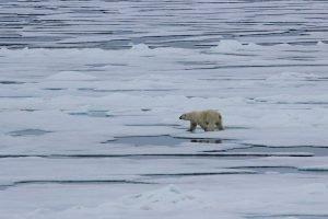 Eisbären jagen bevorzugt an Wasserlöchern nach Seehunden